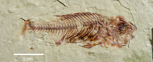 Fossil fish (Photo: Bettina Reichenbacher)