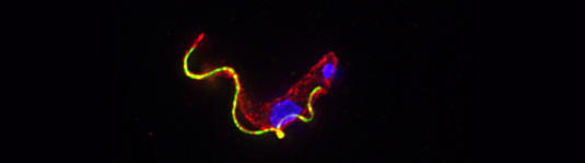 Trypanosoma brucei: The fluorescence micrograph shows the cell nucleus and the kinetoplast (top right) in blue, the flagellum (green) and the cytosol (red).