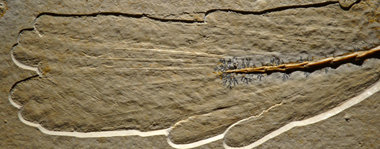 The strikingly well preserved tail of the new specimen (Photo: H. Tischlinger)