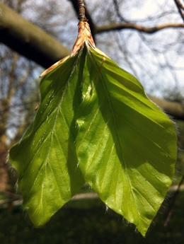 In beech (Fagus sylvatica) leaf-out requires 13 hours of daylight, regardless of whether the spring was warm or cool and moist.
