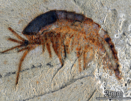 Well preserved: larval stage of L. illecebrosa. (Source: Yu Liu and Joachim T. Haug)