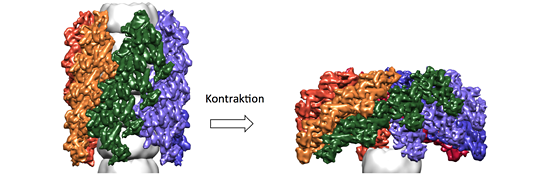 In the structural model of the Type VI secretion system in its extended state (left), the sheath complex encases the inner complex that contains the toxin (gray). Contraction of the complex (right) drives the toxic needle complex into the target cell