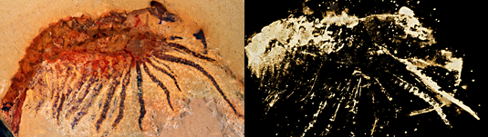 The figure on the left shows a light micrograph of the fossil, while the microtomographic image right reveals fine details of structures hitherto concealed within the slab.