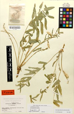 Type specimen of Astragalus andersianus collected in Afghanistan. Picture: Bavarian State Botanical Collections