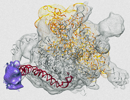 The mutant virus sensor RIG-I E373Q (magenta) bound to an exposed double-stranded region (red) of the ribosomal RNA [gray (orange): large (small) ribosomal subunit]. Source: Sarah Matheisl and Charlotte Lässig.