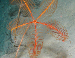Stalked sea lily. Picture: marum.de