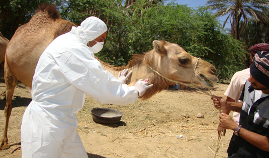 Research on MERS has identified camels as the primary source of human infections, although the virus causes only mild symptoms in that host. Here a veterinarian takes a blood sample from a camel in Hadramawt in Yemen. Source: CDC/SPL/pa