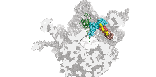 Evernimicin and avilamycin (yellow) both bind to a site on the bacterial ribosome which is not recognized by any other known antibiotic. In doing so, they sterically hinder binding of the charged tRNA to the active center of the ribosome, thus inhibiting protein synthesis. Picture: S. Arenz