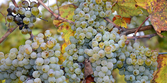 Exposure of grapes to freezing temperatures increases their sugar content. German winemakers exploit this adaptive response for the production of Eiswein, a specific class of dessert wine. Source: photo 5000 / fotolia.com