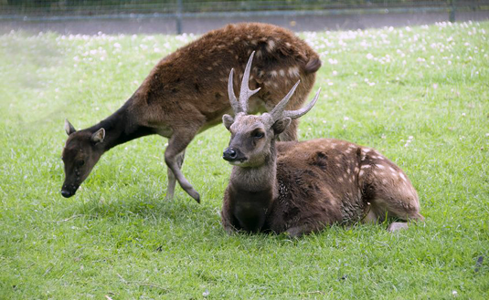 Philippine spotted deer (Source: d40xboy /fotolia.com)