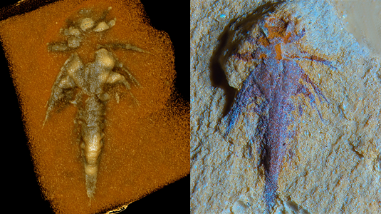 The fossil chelicerate larva discovered by LMU researchers is only 2 mm