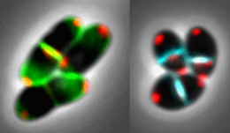Ethambutol's mode of action: Corynebacteria (an innocuous relative of the tuberculosis pathogen) are normally rod-shaped (left panel). But cells exposed to ethambutol (right) become more compact, because cell-wall synthesis occurs only in the equatorial plane of division (green) and not at the poles (blue). Photo: Bramkamp Group