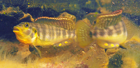 Two cichlids (Orthochromis sp.) size each other up. Ancient hybridization events involving riverine and lacustrine cichlids may have given rise to species now endemic to Lake Tanganyika. Photo: U. Schliewen