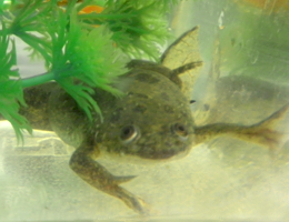 African Clawed Frog (Xenopus laevis). Source: AG Straka