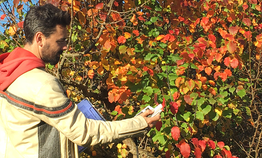 Constantin Zohner determining the timing of chlorophyll degradation in the leaves. Image: C. Zohner
