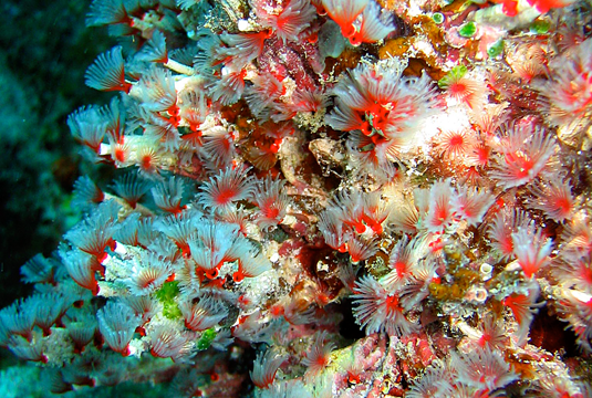 A colony of tube worms. Marine invertebrates are currently underrepresented in genetic databases. Image: G. Wörheide