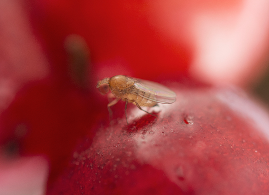 Drosophila suzukii, the spotted-wing Drosophila, on a wild cherry. Image: Elora Gompel