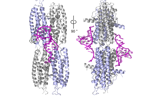 Schematic depiction of the binding of the protein She2p to RNA (magenta). Source: LMU, Dirk Niessing