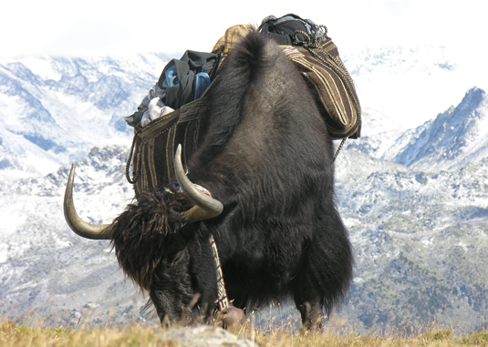 """Hybridization between yaks and cattle began more than 1500 years ago"", says Ivica Medugorac. Credit: Sonja Mathis"