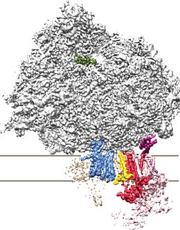 Three-dimensional structure of the OST-containing ribosome-translocon complex. Two of the OST subunits (yellow and magenta) link its catalytic subunit (red) to the protein-conducting channel (blue) and the ribosome (gray). Source: K. Braunger, LMU