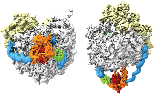3-D reconstruction of the ribosome-N-acetyltransferase complex, based on an analysis of cryo-electron micrographs. (Source: Roland Beckmann, LMU)