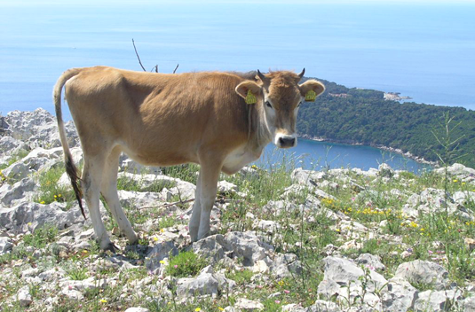 : A Buša photographed on a high plain near Dubrovnik, Croatia. (Photo: Jelena Ramljak)
