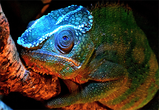The well-known panther chameleon (Furcifer pardalis) which is also popular as a pet shows fluorescent crests on the head. (David Prötzel; ZSM/LMU)