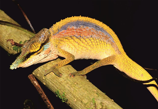 A male of the new species Calumma uetzi flaunting its display colours. Photo: Frank Glaw (ZSM/LMU)