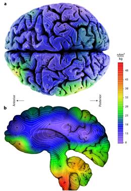 Die Abbildung veranschaulicht die unterschiedlichen Konzentrationen magnetischer Kristalle im menschlichen Gehirn. Die höchste Konzentration ist rot dargestellt. (Stuart A. Gilder/LMU in: Scientific Reports 2018)