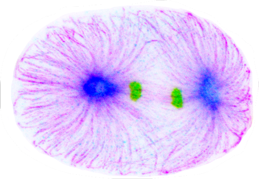 Cell division in the C. elegans embryo (magenta: microtubules, blue: TPXL-1, green: chromosomes)