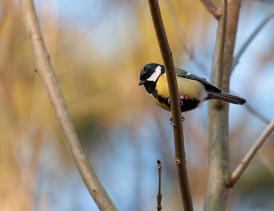 Great Tit. Source: Jan Wijmenga