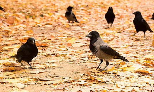 Carrion crows and hooded crows (Photo: binah01 / stock.adobe.com)