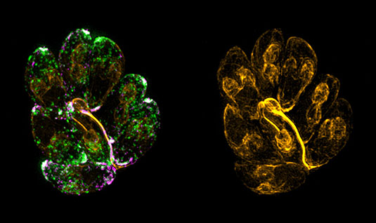 "The Picture depicts the impressive F-actin network (yellow) that is required for the recycling of micronemes (green). It shows an intracellular parasitophorous vacuole in the 8-cell stage that is connected via the ""Resdiual Body"", which is organised by F-actin dynamics. Source: Dr. Javier Periz, University of Glasgow."