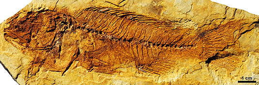 Holotype specimen of the 12.5-million-year-old fossil cichlid Oreochromimos kabchorensis. The new species is the oldest known member of the Oreochromini, a lineage that is now represented all over Africa. (Photo: M. Schellenberger/SNSB-BSPG)