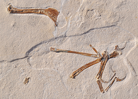 The illustration shows the wing of Alcmonavis poeschli as it was found in the limestone slab. Alcmonavis poeschli is the second known specimen of a volant bird from the Jurassic period.