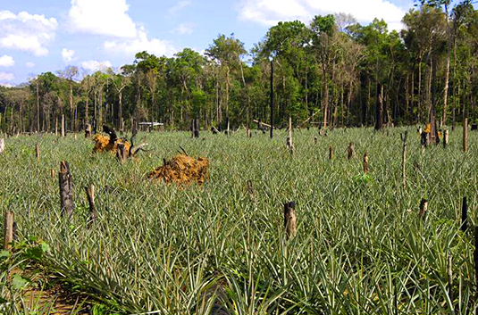 Pineapple plantations on deforested land in the Amazon Basin, Brazil. (photo: imago images / blickwinkel)