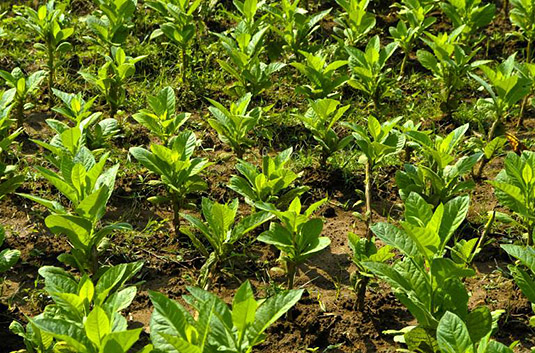 Adapting crops such as tobacco to climate change is more complex than expected.