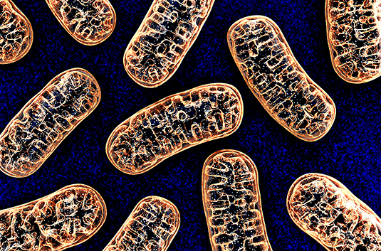 Mitochondria must transmit a distress signal into the surrounding cytosol in order to activate protective measures. Source: wire man / AdobeStock